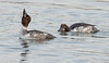 common goldeneye behavior