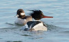 bufflehead, red-breasted merganser