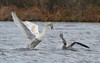 ruckus between mute swan & immature gannet-one day after Hurricane Sandy