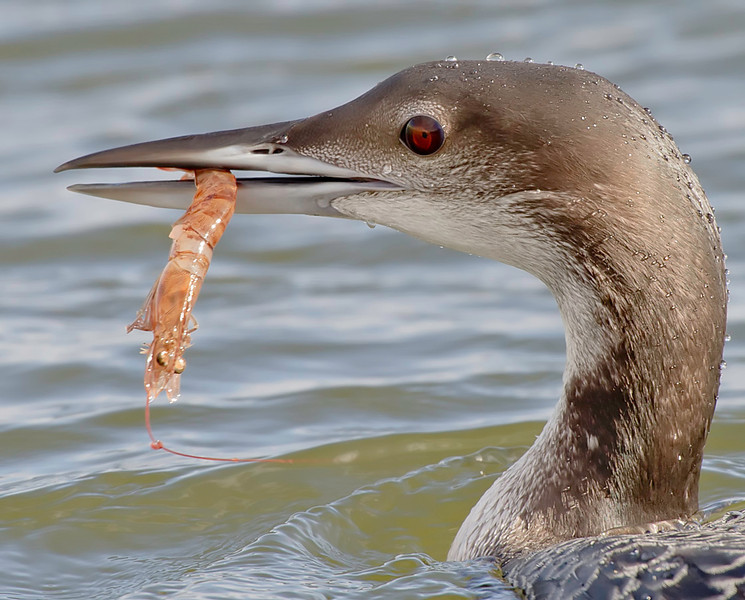 winter plumed common loon & shrimp