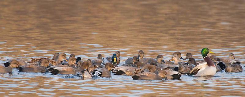 gadwall, mallards, ring-necks feeding behavior