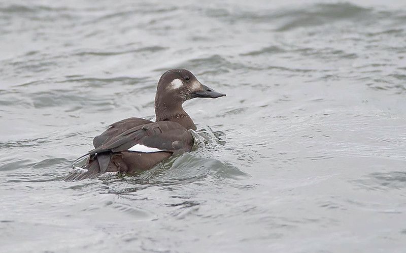 female white-wing scoter