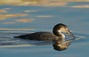 common loon, early light