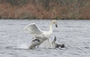 immature northern gannet & mute swan meet & interact the day after Hurricane Sandy