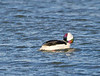 bufflehead, male, preening its feathers