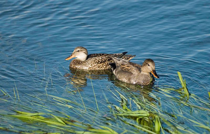 pair of drake & hen gadwall ducks