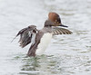 female hooded merganser stretches its wings