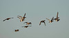 greater scaup flock