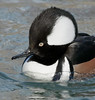 male hooded merganser displaying crest: captive USA