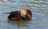 black duck preening its feathers