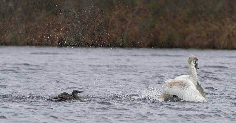 immature gannet &  mute swan interaction day after Hurricane Sandy