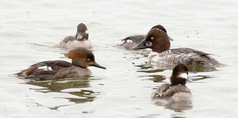 group of ducks, common goldeneye, buffleheads, hooded merganser