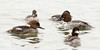 group of ducks, common goldeneye, buffleheads, hooded merganser