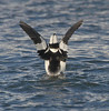 bufflehead duck, male stretching wings