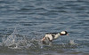 bufflehead duck, male chasing after rival