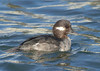 female bufflehead duck