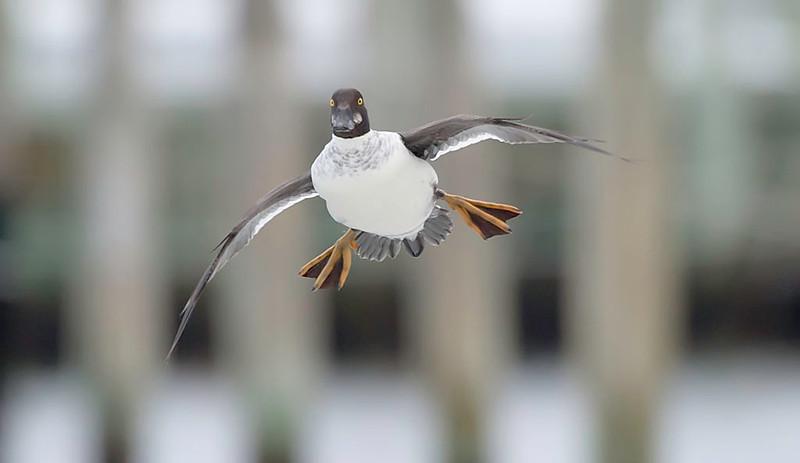 molting goldeneye duck