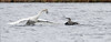 mute swan & northern gannet interact one day after Hurricane Sandy