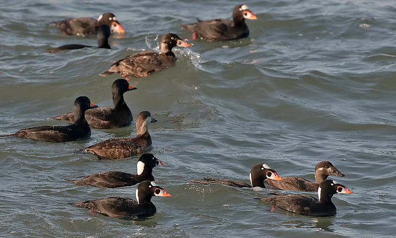 black & surf scoters, males & females