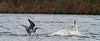 northern gannet & mute swan interact one day after Hurricane Sandy
