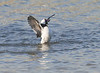 bufflehead, male