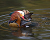 The Mandarin Duck (Aix galericulata), or just Mandarin, is a medium-sized perching duck, closely related to the North American Wood Duck. It is 41-49 cm long with a 65-75 cm wingspan.