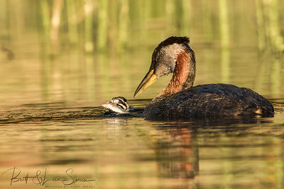 Too Big For Baby? Red-necked Grebes