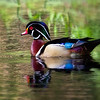 Drake Wood Duck - Greenwood Urban Wetlands