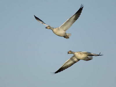 Snow Geese - November, 2005 - Sacramento National Wildlife Refuge