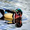 Male Wood Duck at Greenwood Urban Wetlands, Orlando,  FL