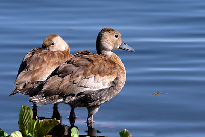 Young Whistling Ducks in Central Florida