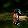 Drake Wood Duck - Mead Botanical Gardens