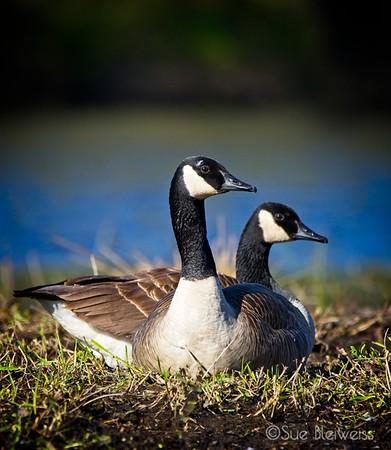 Ducks, Geese & Gulls