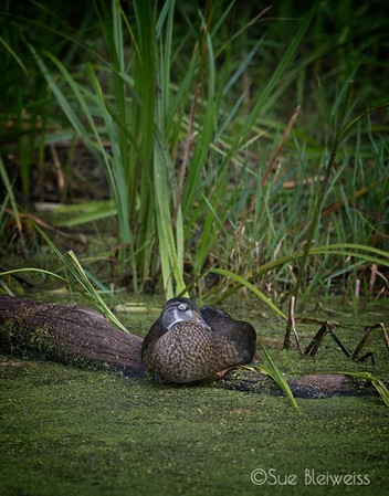 Sleeping Female Wood Duck