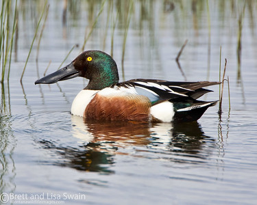 Male Northern Shoveler #2