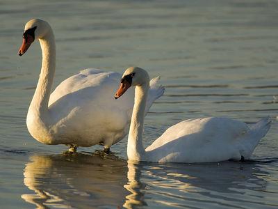 Mute Swans - Shollenberger Park, Petaluma, California
