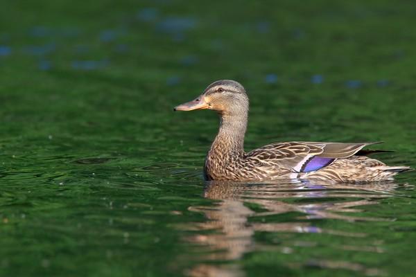 mallard (female)