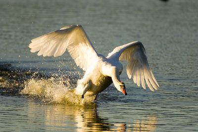 Mute Swan - 01/15/06 - Shollenberger Park, Petaluma, California