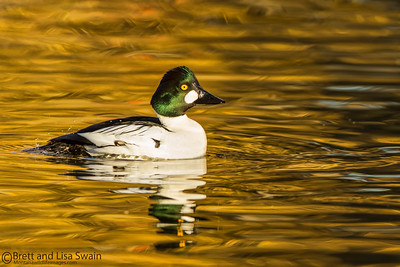 Male Common Goldeneye on Gold
