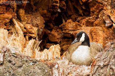 Canada Goose on a Nest
