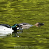 Male and Female Common Goldeneye-breeding posture