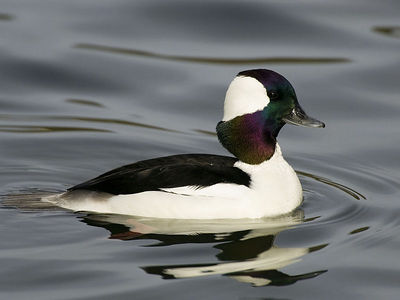Bufflehead - 03/04/06 - Howarth Park, Santa Rosa, California