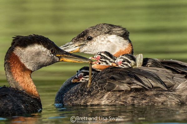 Red-necked Grebe Parents Feeding Three Babies