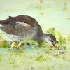 Young Common Gallinule