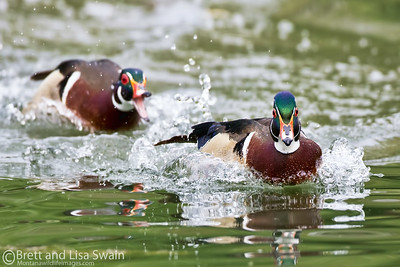 Wood Duck Dispute