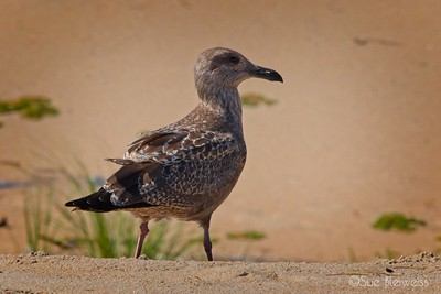 Slaty backed gull