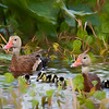 Whistling Duck Family at Orlando Wetlands