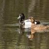 Male and Female Lesser Scaup