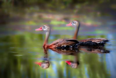 Black-Bellied Whistling Ducks at Orlando Wetlands Park, Florida