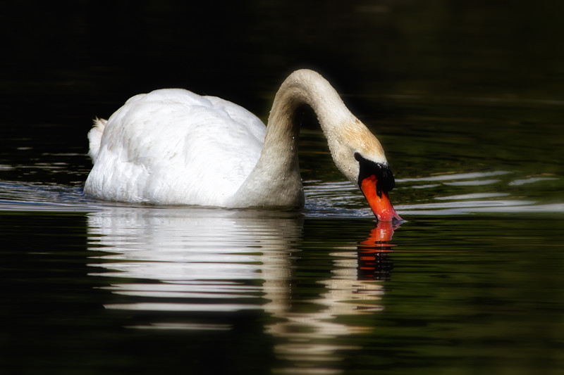 Mute Swan in Orlando pond